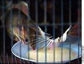 Mới đầu giống mèo hơn, cuối cùng không bằng chuột