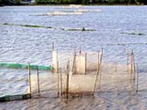 Dùng lưới cước lỗ nhỏ làm lưới đánh bắt thủy sản tận diệt các loại cá từ nhỏ đến lớn