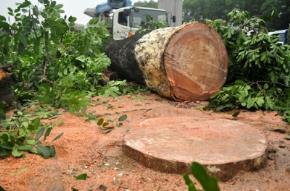 Bảy câu hỏi về việc chặt hạ 6700 cây xanh ở Hà Nội