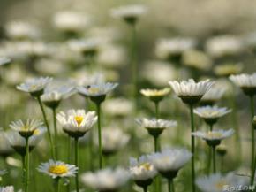 Hoa cúc - tượng trưng cho sự cao thượng