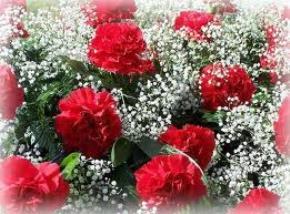 Hoa cẩm chướng trong mưa