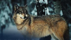 6 tố chất quyết định thành bại của sói đầu đàn