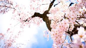Hẹn hò mùa Sakura