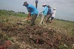 Nhiều diện tích đất ở hai huyện Bình Minh và Bình Tân, tỉnh Vĩnh Long đã được người Trung Quốc thuê để trồng khoai lang.