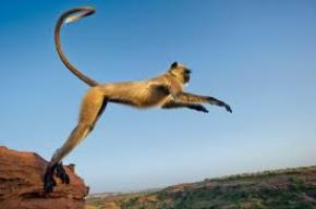 Khỉ Hanuman (Phần 1)