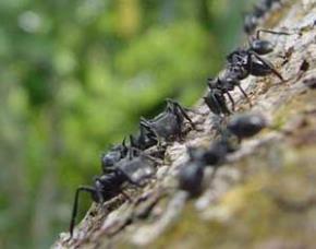 Con kiến mà leo cành đa